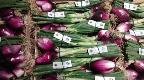 Cooperativa delfrutta volumi in aumento per la cipolla for Coltivare cipolle