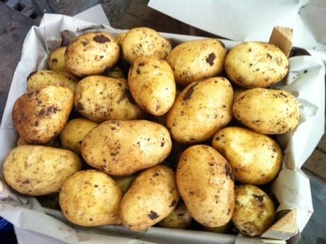 Agricola zito promettente inizio della raccolta delle for Raccolta patate