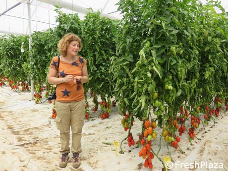 Visita nella serra sperimentale pomodoro sais a vittoria rg - Cimice del pomodoro ...