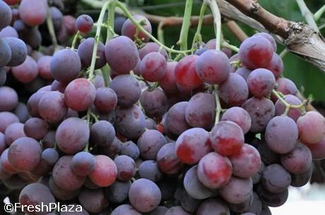 Uva red globe a ridosso della campagna produttori e - Red globe uva da tavola ...