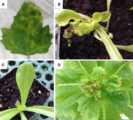 Identificata una nuova specie di Potyvirus su lattuga