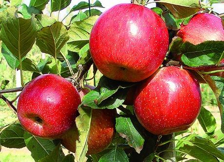 A interpoma 2016 saranno presentate le ultime novita 39 di - Mele fuji coltivazione ...