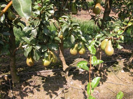 Netafim e l 39 irrigazione a goccia del pero for Netafim irrigazione
