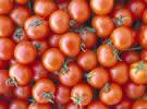 Vittoria: estirpato oltre il 70% del pomodoro in raccolta tra novembre e dicembre