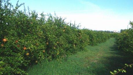 Vivaio Rosso Melograno : Melograno pianta produce frutti grossi amazon giardino e