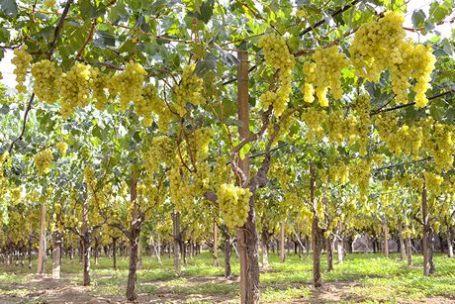 Seedless valore aggiunto all 39 uva da tavola bio siciliana - Uva da tavola precoce ...