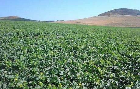 Sicilia richiesta proroga per misura 4 1 del psr for Melone coltivazione