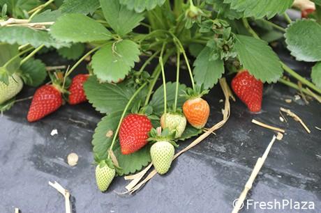 Ecco le prime fragole della romagna for Fragole piante vendita