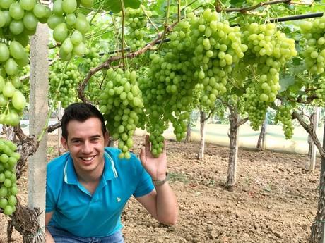 Inizio della stagione dell 39 uva da tavola - Uva da tavola coltivazione ...