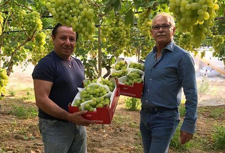 E 39 iniziata la raccolta dell 39 uva da tavola di mazzarrone igp - Uva da tavola di mazzarrone ...