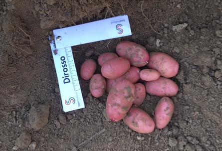 Gute Ergebnisse Der Stet Holland Kartoffeln