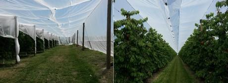 Il ciliegio un 39 opportunita 39 per il rinnovamento del for Costo impianto irrigazione a pioggia