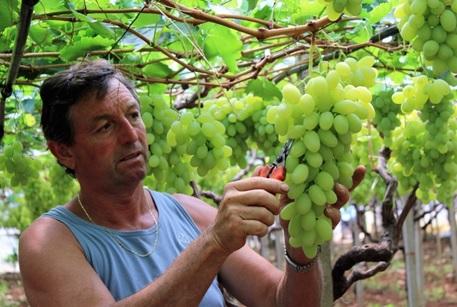 Uva da tavola dove come e quando le aziende italiane producono le varieta 39 precoci - Uva da tavola bianca ...
