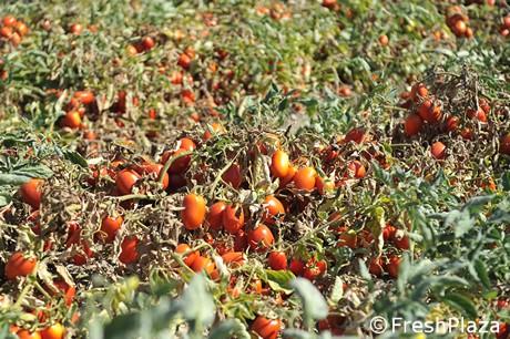 Pomodoro da industria costi di irrigazione raddoppiati for Irrigazione a goccia per pomodori
