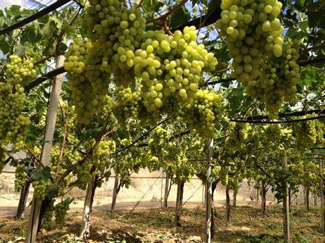 Sicilia si chiude positivamente la stagione dell 39 uva da tavola senza semi a gela - Uva da tavola precoce ...