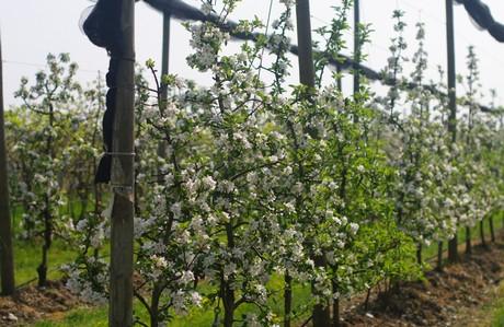 Attuali orientamenti per la potatura del for Potatura del melo