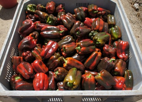Italy: Drop in pepper acreage could lead to positive campaign