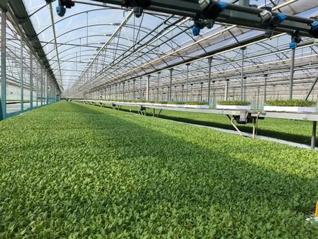 Vivai Rosso Antonio : Vivai cecere luigi l attivita sul pomodoro da industria