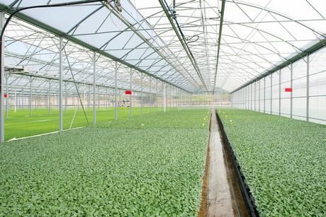 Vivai Rosso Antonio : Cavolfiore i protocolli di coltivazione dei vivai cecere