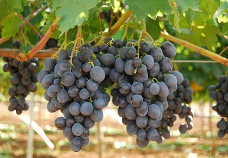 L 39 evoluzione dell 39 uva da tavola senza semi nel bacino del mediterraneo - Uva da tavola precoce ...