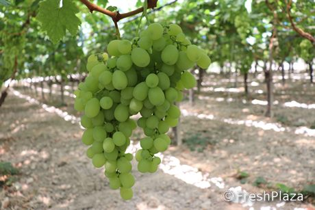L 39 uva da tavola di mazzarrone igp viaggia per 4 continenti - Uva da tavola di mazzarrone ...