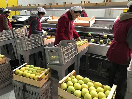 Machinery to sort ripe fruit
